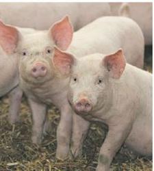 My husband and mpango wa kando 'ate' my two pigs – Woman