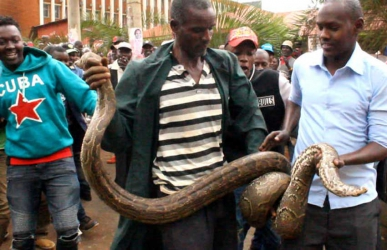 Panic in Meru as 16-foot python escapes from a Museum, disappears into a kiosk