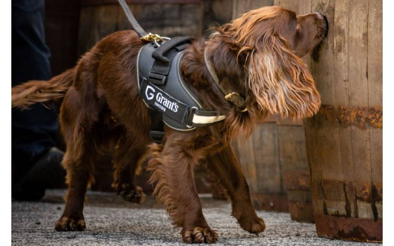 Rocco: Grant's whisky's official sniffer dog