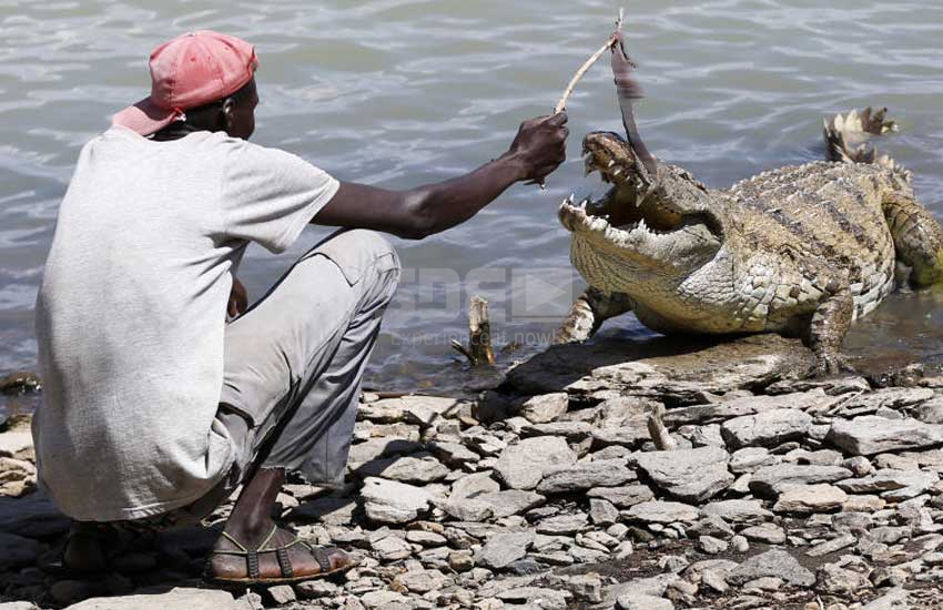 Villagers pelt crocodile with stones after snatching girl at Kiambere dam