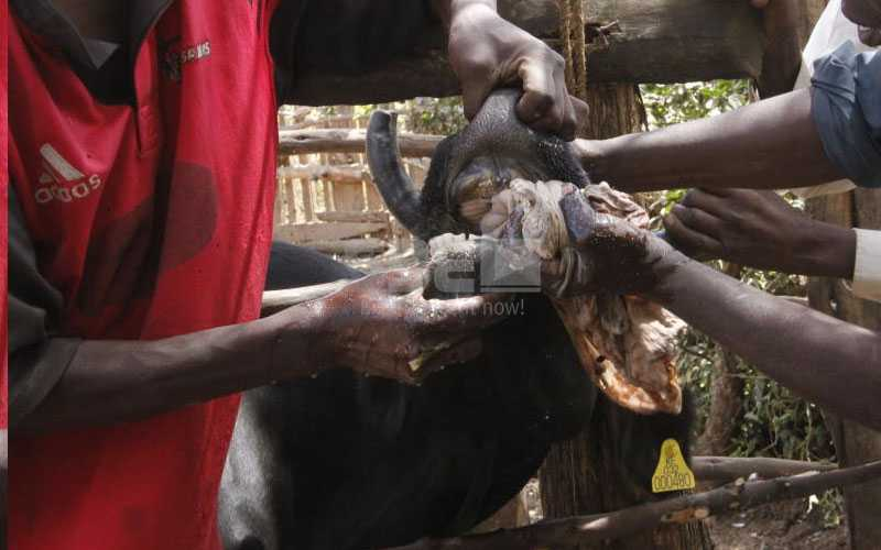 Brewed livestock dose: Farmers give their cows' busaa in Rongai