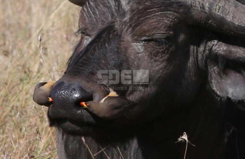 Survival: Check out tiny birds that clean Buffalo's nostrils