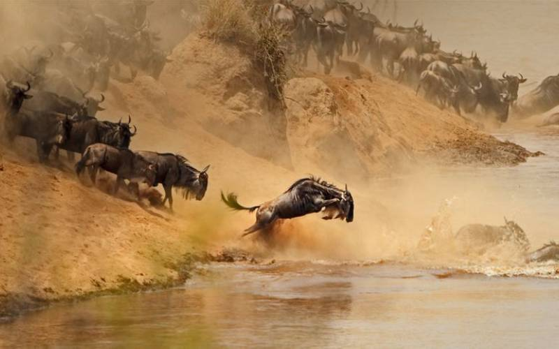 Over 300 wildebeests drown during Mara migration