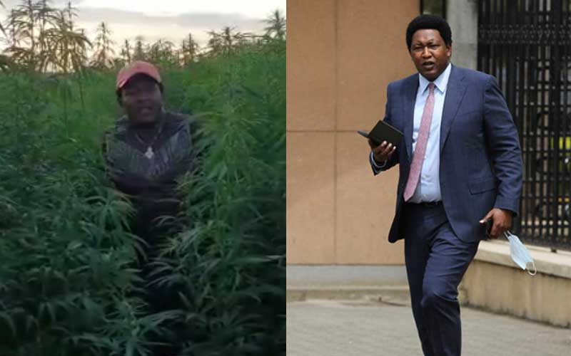 Senator Ledama Olekina visits marijuana farm, calls for legalisation