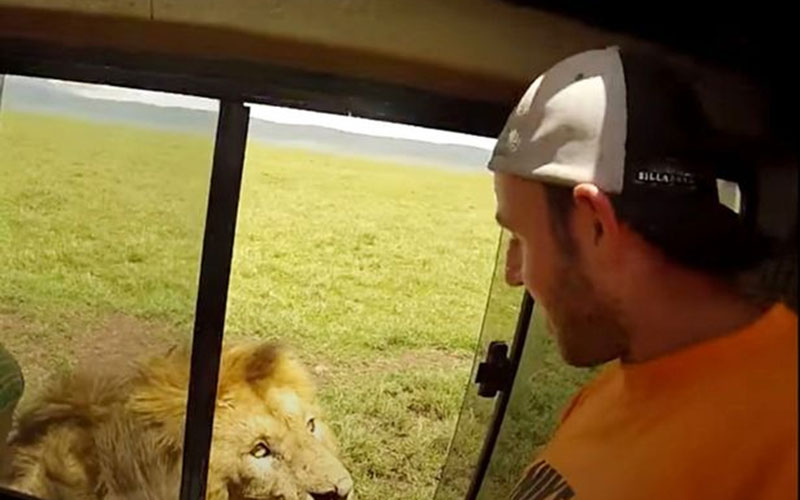 VIDEO: Tourist reaches from car to pet a lion and quickly regrets it