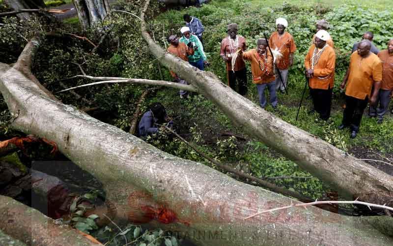 Villagers panic as mugumo tree falls