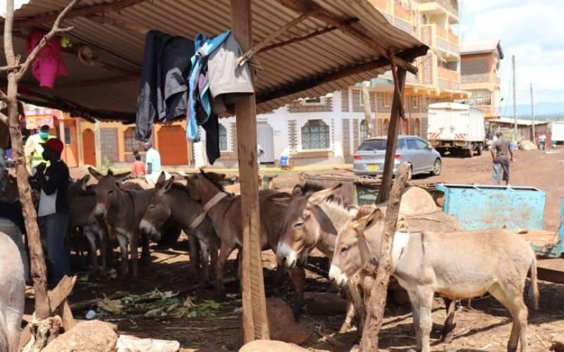 Why female donkeys are banned in Nanyuki