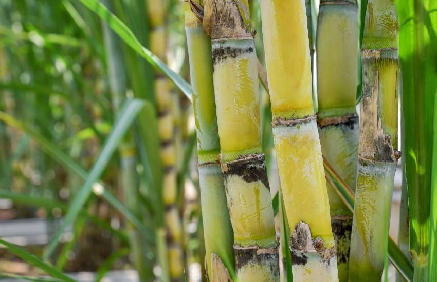 70-year-old man beaten to death by guards for allegedly stealing sugarcane