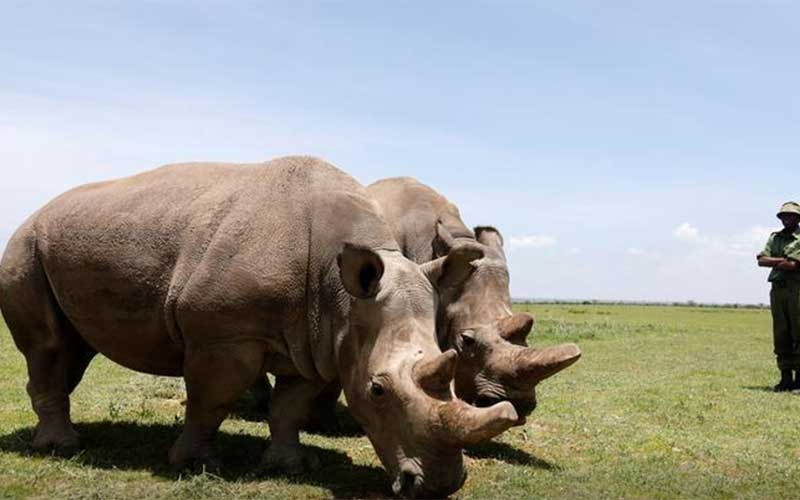 Scientists produce embryos in race to save northern white rhino from extinction