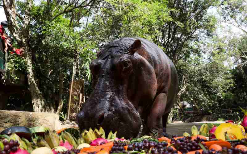 Thailand's oldest hippo celebrates birthday with fruit and song