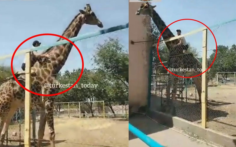 VIDEO: 'Drunk' man rides giraffe in zoo, police launch investigation