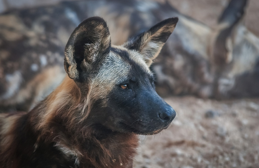 Wild dogs unleash terror in Busia: Maul three children, kill over 30 livestock